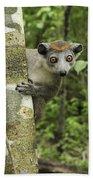Crowned Lemur Eulemur Coronatus Female Beach Towel