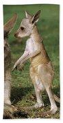 Eastern Grey Kangaroo And Joey Beach Towel