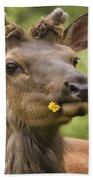 Elk Cervus Canadensis With Dandelion In Beach Towel