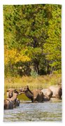 Elk Herd With Autumn Colors Beach Towel