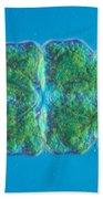 Euastrum Sp. Algae Lm Beach Towel