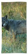 Femle Gray Wolf In The Morning Light Beach Towel