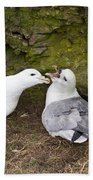 Fulmar Pair Bonding Beach Towel