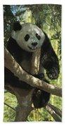 Giant Panda Ailuropoda Melanoleuca Beach Towel