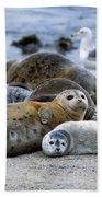 Harbor Seal Phoca Vitulina Mother Beach Towel