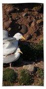Herring Gulls Mating Beach Towel