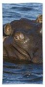Hippopotamus Hippopotamus Amphibius Beach Towel