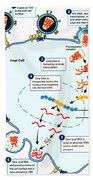 Hiv Virus Replication Cycle Beach Towel