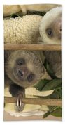 Hoffmanns Two-toed Sloth Orphaned Babies Beach Towel by Suzi Eszterhas