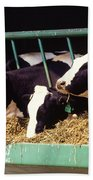 Holstein Dairy Cows Beach Towel by Photo Researchers