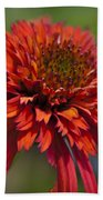 Hot Papaya Hybrid Coneflower Beach Towel