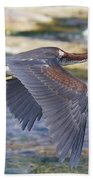Immature Tricolored Heron Flying Beach Towel