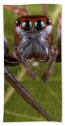 Jumping Spider Papua New Guinea Beach Towel by Piotr Naskrecki