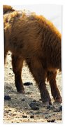 Juvenile Scottish Highlander Cattle Beach Towel