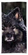 Keeshond Dog, Winnipeg, Manitoba Beach Towel
