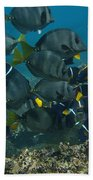 King Angelfish Holacanthus Passer Beach Towel by Pete Oxford