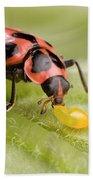 Lady Beetle Eats Potato Beetle Eggs Beach Towel