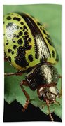 Leaf Beetle Calligrapha Sp Portrait Beach Towel