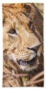 Lioness Hiding Beach Towel