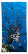 Lionfish Foraging Amongst Corals Beach Towel