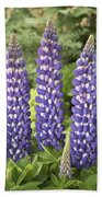 Lupine Lupinus Sp Sea Horse Variety Beach Towel
