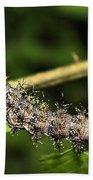 Lymantria Dispar Gypsy Moth Larva Beach Towel