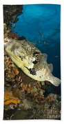 Map Pufferfish, Indonesia Beach Towel