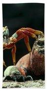 Marine Iguana Amblyrhynchus Cristatus Beach Towel