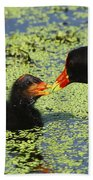 Mother Common Gallinule Feeding Baby Chick Beach Towel
