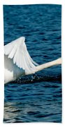 Mute Swan Gaining Momentum Beach Towel