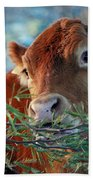 New Years Morning Cow Beach Towel