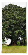 Old Fig Tree - Ficus Carica Beach Towel by Kaye Menner