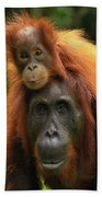Orangutan Pongo Pygmaeus Female Beach Towel