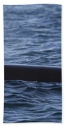 Orca Orcinus Orca Surfacing Showing Beach Towel by Matthias Breiter