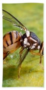 Oriental Fruit Fly Laying Eggs Beach Towel