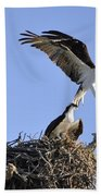 Osprey Coming In For A Landing Beach Towel