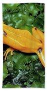 Panamanian Golden Frog Atelopus Zeteki Beach Towel