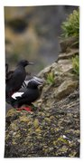 Pigeon Gillemot Mating Beach Towel