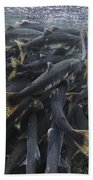 Pink Salmon Oncorhynchus Gorbuscha Beach Towel