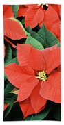 Poinsettia Varieties Beach Towel