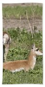 Pronghorn Antelope With Young Beach Towel