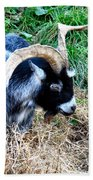 Pygmy Goat Beach Towel