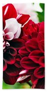 Red And White Variegated Dahlia Beach Towel