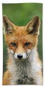 Red Fox Vulpes Vulpes, Hoge Veluwe Beach Towel