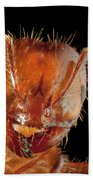 Red Imported Fire Ant Solenopsis Beach Towel