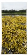 Rock Weed Fucus Gardneri At Low Tide Beach Towel