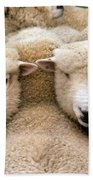Romney Sheep Beach Towel