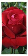 Rose Rosa Sp Ingrid Bergman Variety Beach Towel