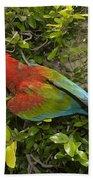 Scarlet Macaw Ara Macao Adult Perching Beach Towel