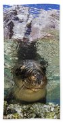 Sea Lion Portrait, Los Islotes, La Paz Beach Towel by Todd Winner